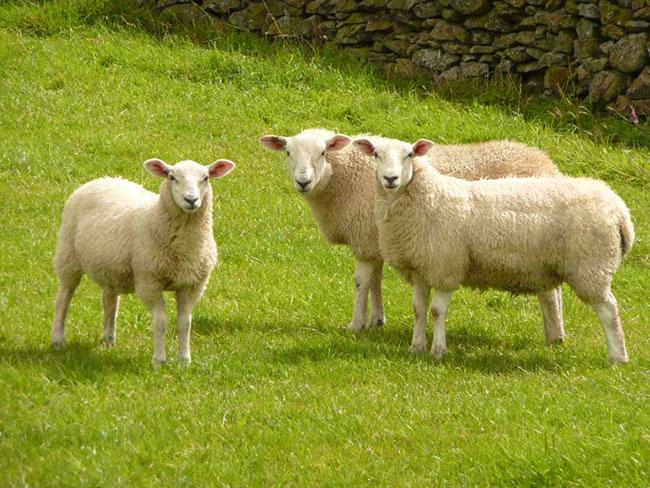 2. طرح پرورش گوسفند داشتی